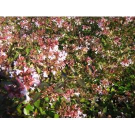 ABELIA Grandiflora semperflorens