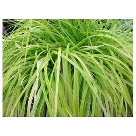 CAREX Oshimensis everillo