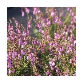 DABOECIA Cantabrica globosa pink