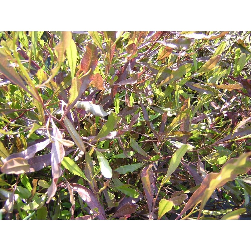 DODONEA Viscosa purpurea