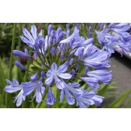 AGAPANTHUS Ombelle bleu