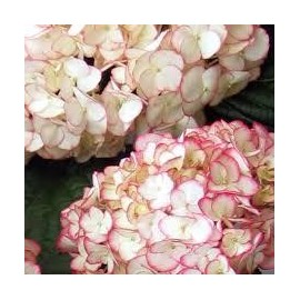 HYDRANGEA Macrophylla sabrina ® dutch ladies