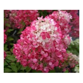 HYDRANGEA Paniculata diamant rouge ®