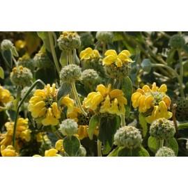 PHLOMIS Fruticosa bourgaei