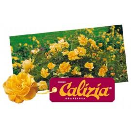ROSIER Calizia ®