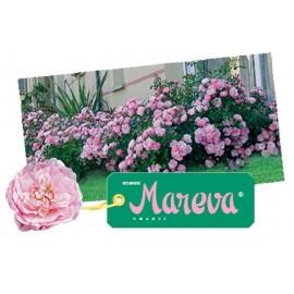 ROSIER Mareva ®