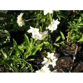 SOLANUM Jasminoides alba
