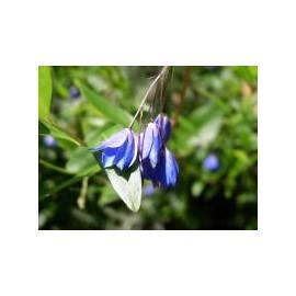 SOLLYA Heterophylla bleu