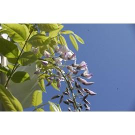 WISTERIA Floribonda rosea