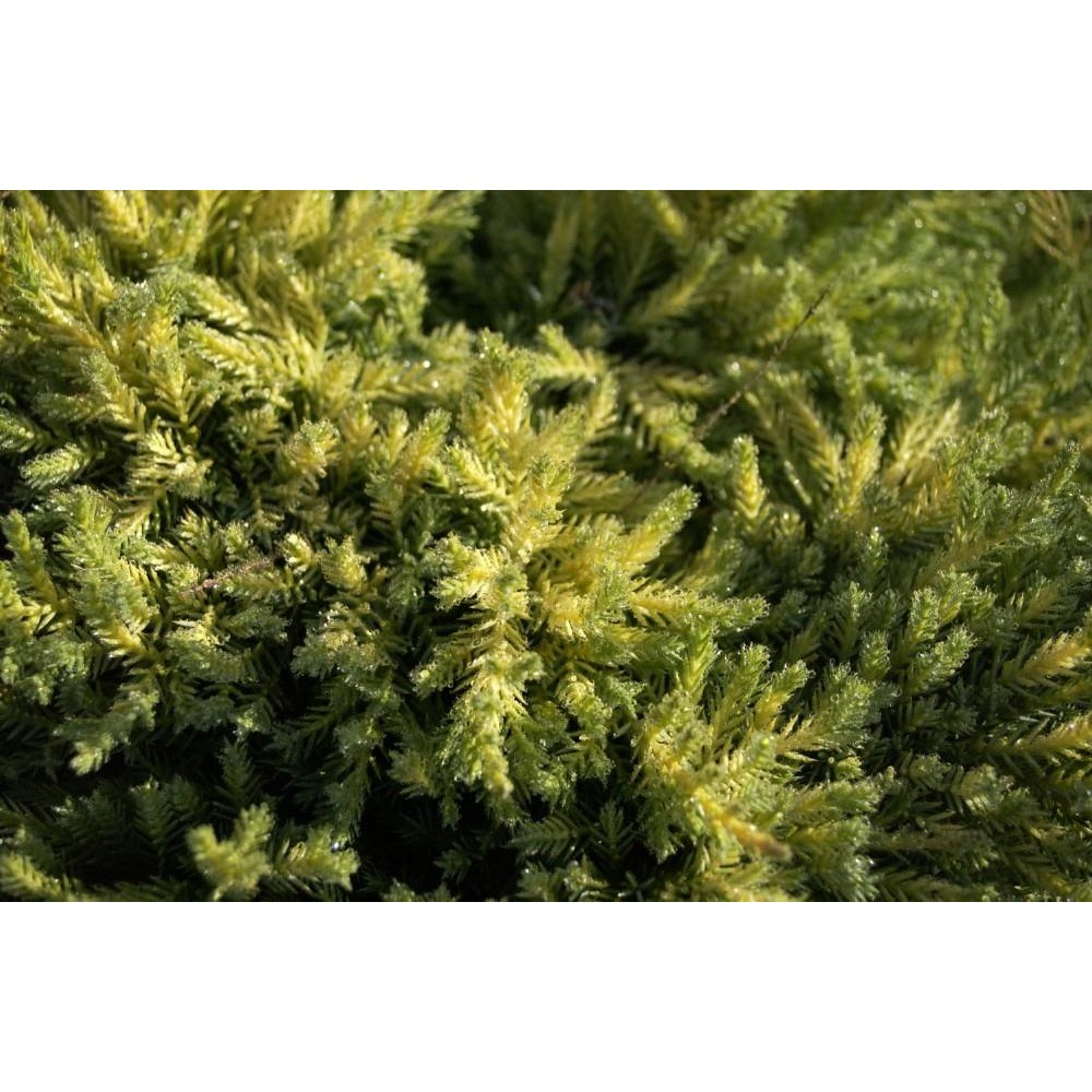 ... JUNIPERUS Squamata blue carpet
