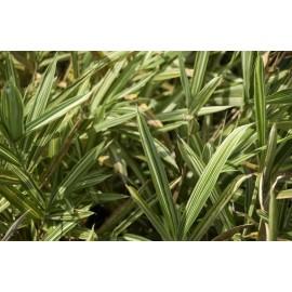 BAMBOU Arundinaria f variegata