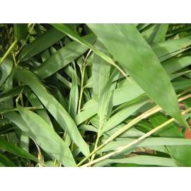 BAMBOU Pseudosasa japonica metake