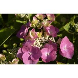 HYDRANGEA Teller rose