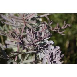 ACACIA Bayleiana purpurea