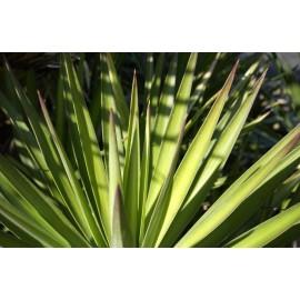 YUCCA Allifolia