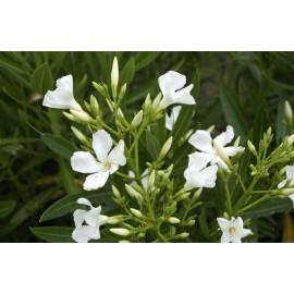NERIUM blanc Oleander