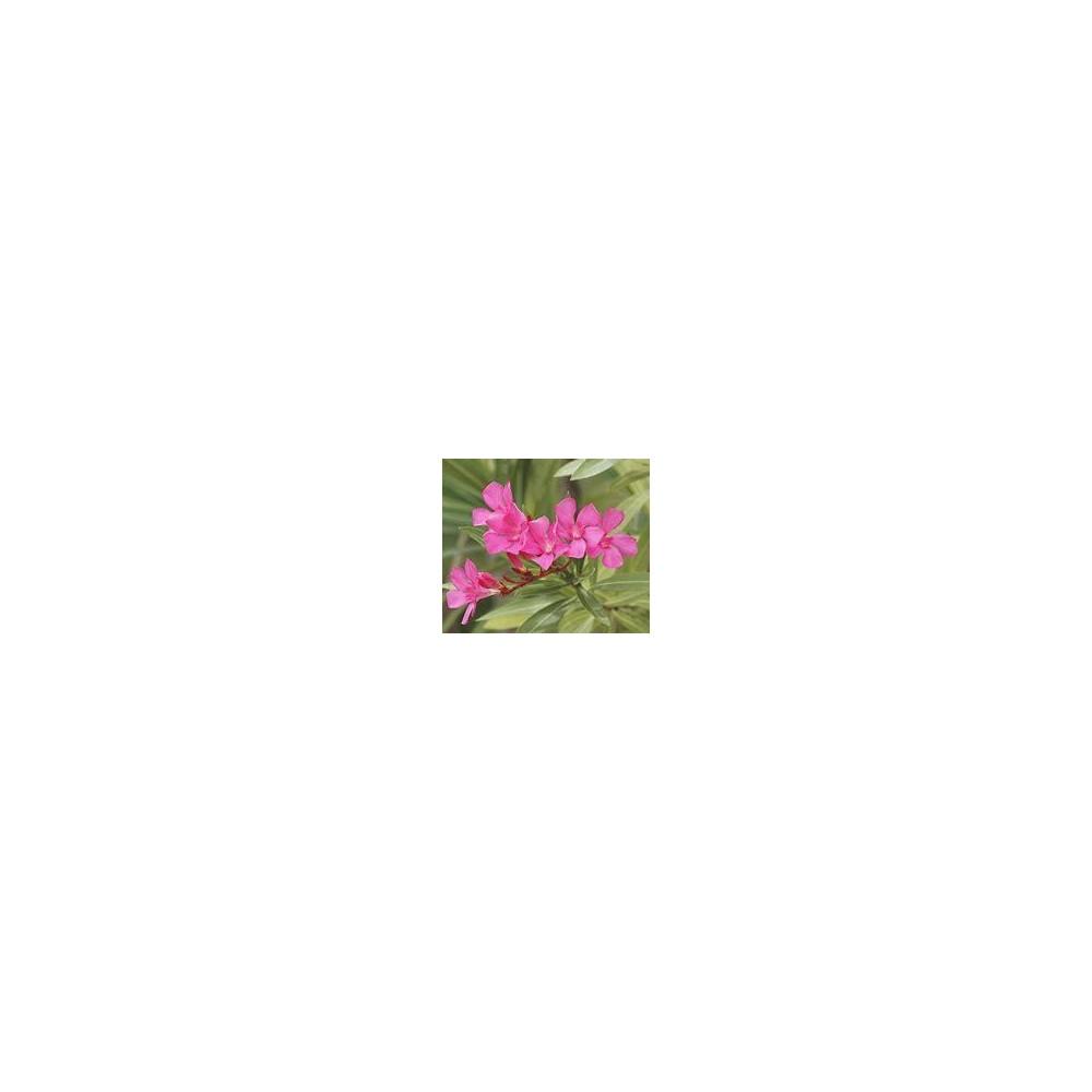 NERIUM cyclamen Oleander