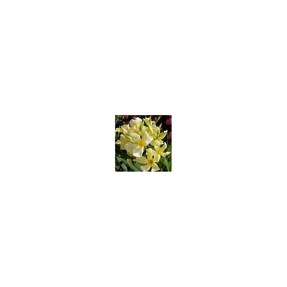 NERIUM jaune Oleander