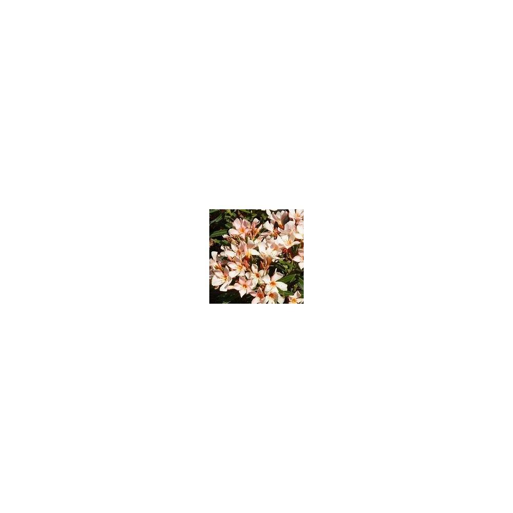 NERIUM saumon Oleander