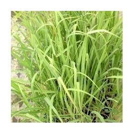 CITRONELLE Lemon grass vert