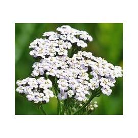 ACHILLEA Millefolium blanche
