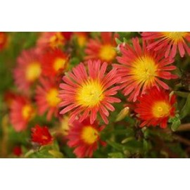 DELOSPERMA Wow wheels of wonder ®