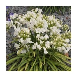 AGAPANTHUS Double diamond ®