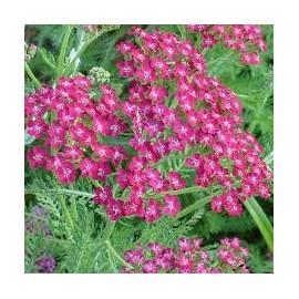 ACHILLEA Millefolium cassis
