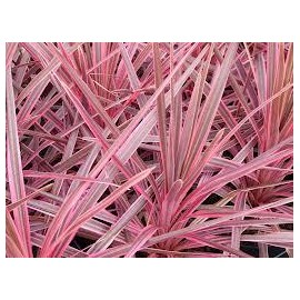 CORDYLINE Australis cherry sensation