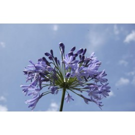 AGAPANTHUS Hedbourne