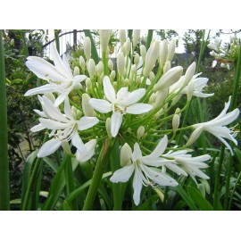 AGAPANTHUS Ombelle blanche