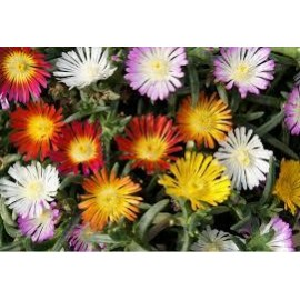 DELOSPERMA Wow wheels of wonder ® triomio