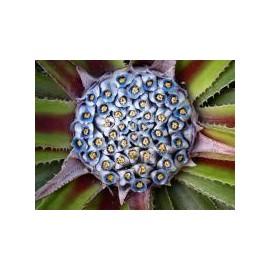 FASCICULARIA Pitcairniifolia