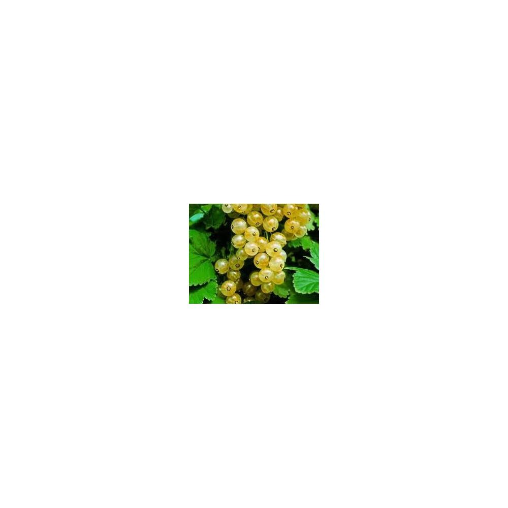 GROSEILLIER GRAPPE Versaillaise blanche