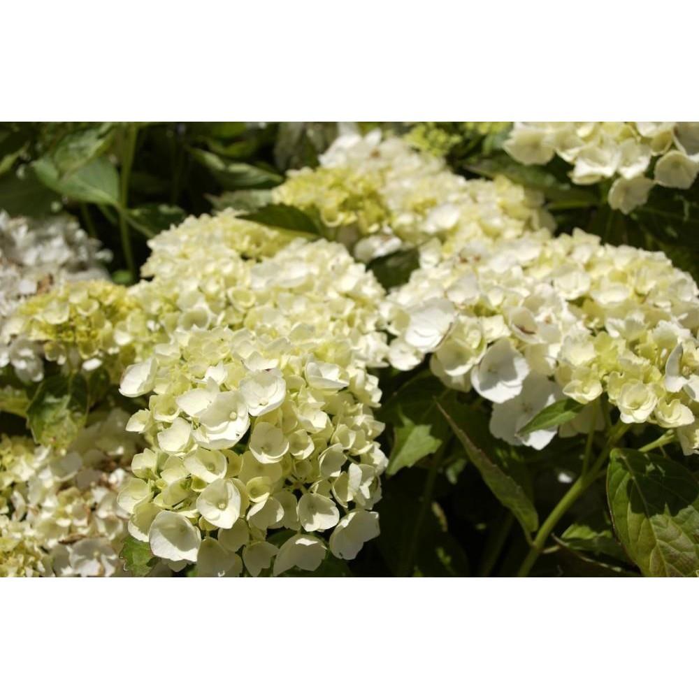 HYDRANGEA Macrophylla blanc