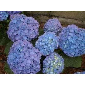 HYDRANGEA Macrophylla bleu
