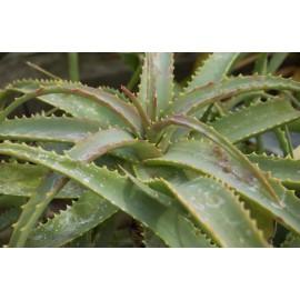 ALOES Arborescens