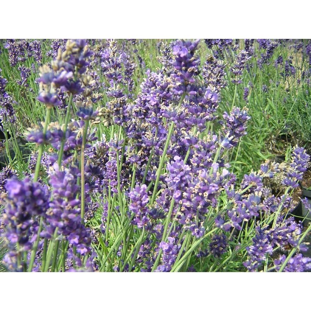 LAVANDULA Hidcote blue