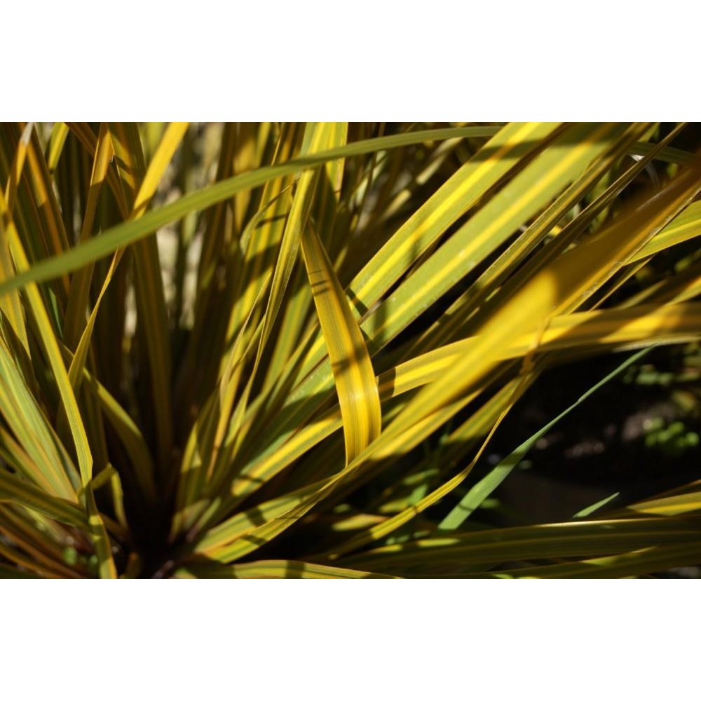 LIBERTIA Peregrinans gold leaf