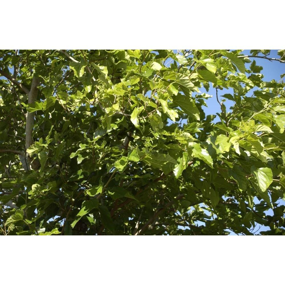 MORUS Platanifolia fruitless