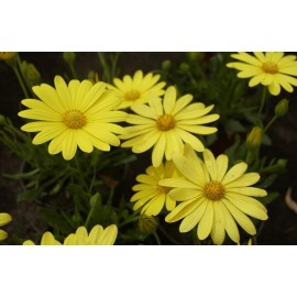 OSTEOSPERMUM Voltage jaune