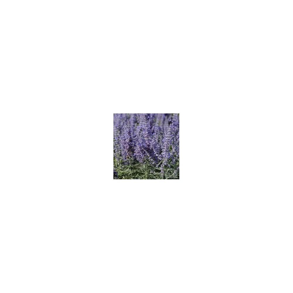 PEROVSKIA Lacey blue lisslitt