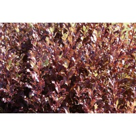 PITTOSPORUM Tenuifolium atropurpureum