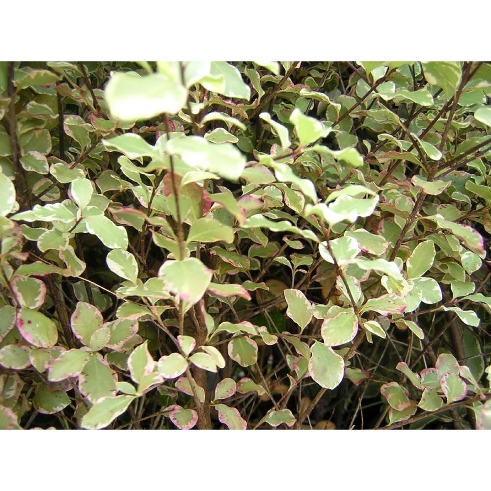 PITTOSPORUM Tenuifolium elisabeth