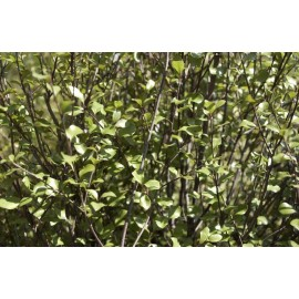 PITTOSPORUM Tenuifolium green elf