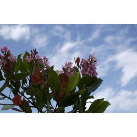 RAPHIOLEPSIS Indica springtime