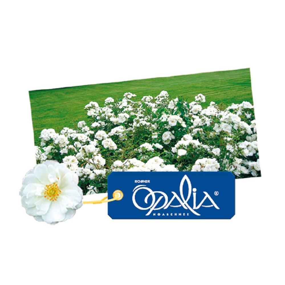 ROSIER Opalia ®