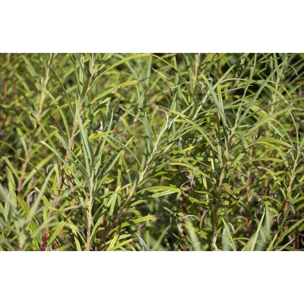 SALIX Rosmarinifolia/elaeagnos