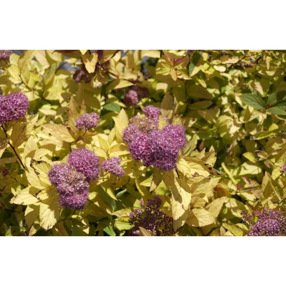 SPIRAEA Bum gold flame