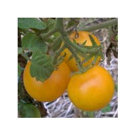 TOMATE Gold nugget